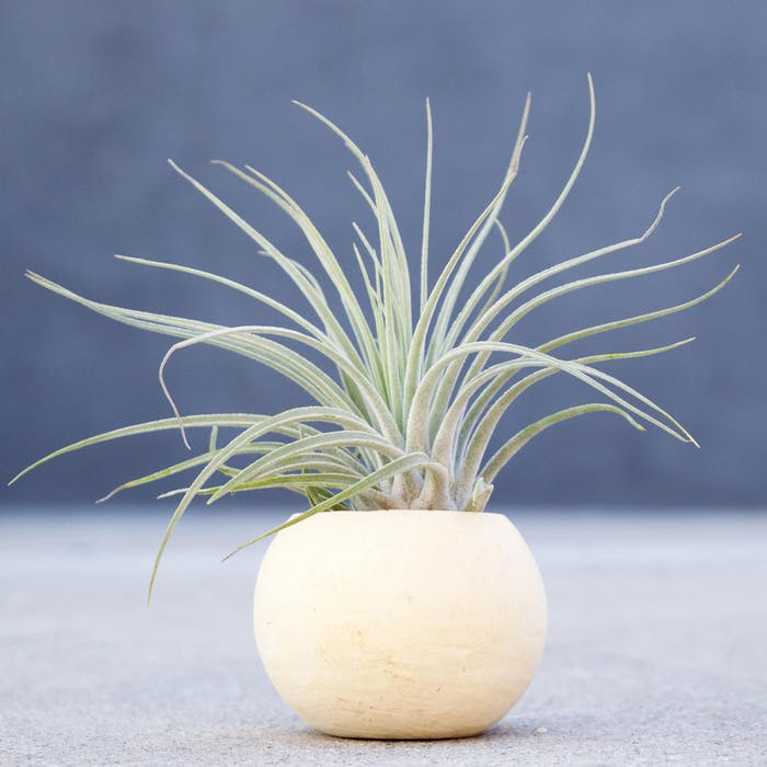 "Tillandsia Oaxacana Feldhofi plant.<span class=""sr-only""> (opened in a new window/tab)</span>"