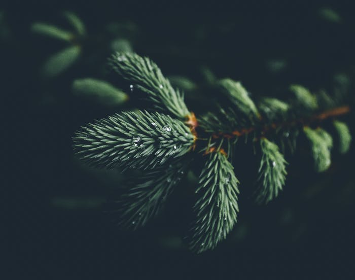 """Close-up view of a pine tree branch.<span class=""""sr-only""""> (opened in a new window/tab)</span>"""