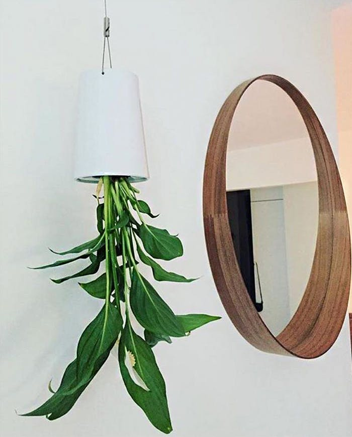 "Peace lily hung upside down.<span class=""sr-only""> (opened in a new window/tab)</span>"