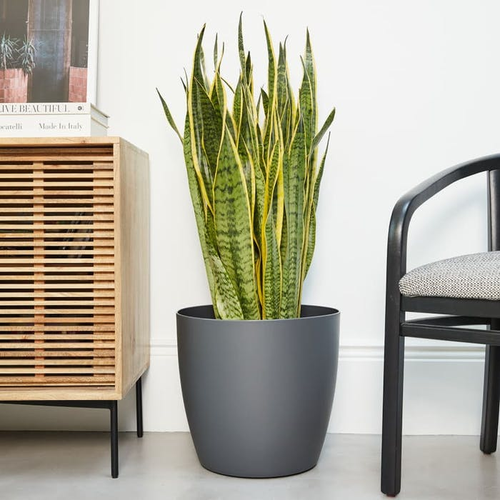"Snake plant on a tall planter.<span class=""sr-only""> (opened in a new window/tab)</span>"
