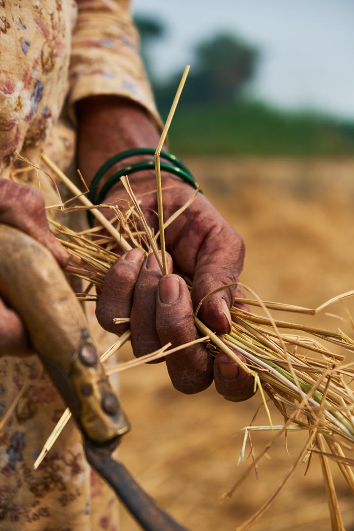"""A man holding a handful of rice straw.<span class=""""sr-only""""> (opened in a new window/tab)</span>"""