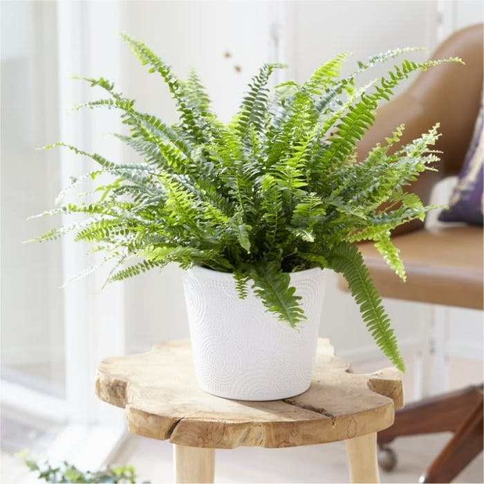 "Boston sword fern, excellent plant to fight indoor air pollution.<span class=""sr-only""> (opened in a new window/tab)</span>"