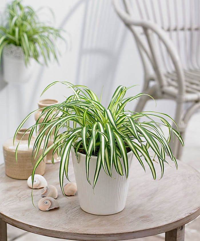 "Spider plant, one of the best plants for people who suffer from allergies.<span class=""sr-only""> (opened in a new window/tab)</span>"